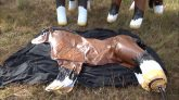 Brown-Horse-Inflate-Time-Lapse