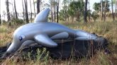 Squeezing-the-Air-Out-of-an-Inflatable-Dolphin