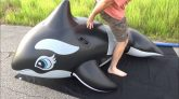 Over-Inflating-and-Riding-a-Reinforced-Intex-Whale