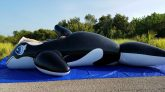 Deflating-my-5-Meter-Whale-by-Laying-atop-It